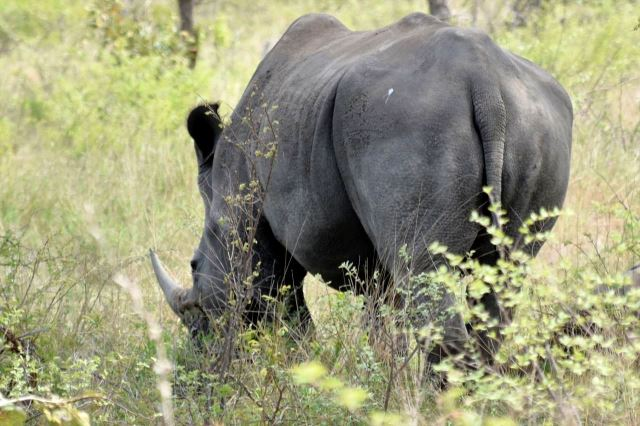 [Kruger National Park]Nosorožec bílý