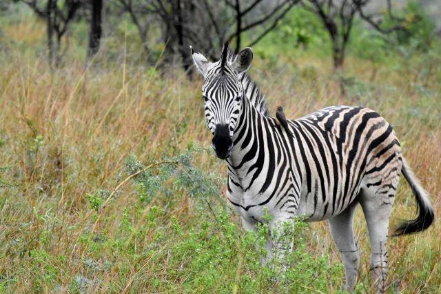 [Hluhluwe-Imfolozi Park]Zebra s ptáčkem na zádech