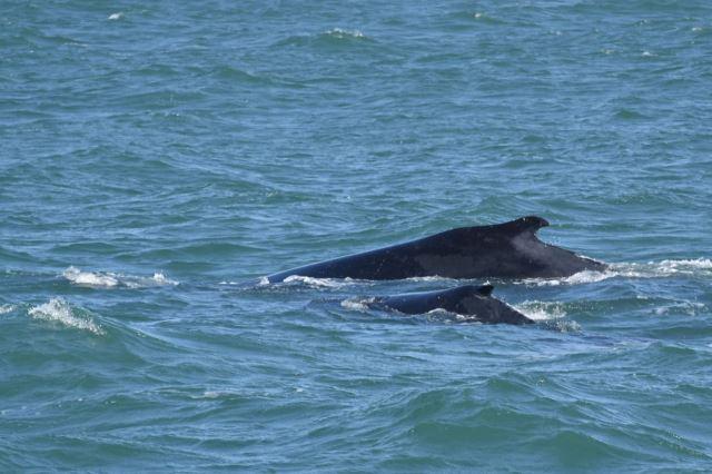 [Richards Bay]Velryba s mládětem