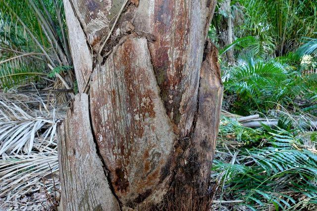 [Mtunzini]Raphia Palm Forest - kmen palmy