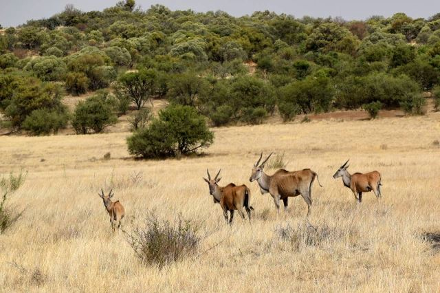 [J od Winburg] Antilopy Eland