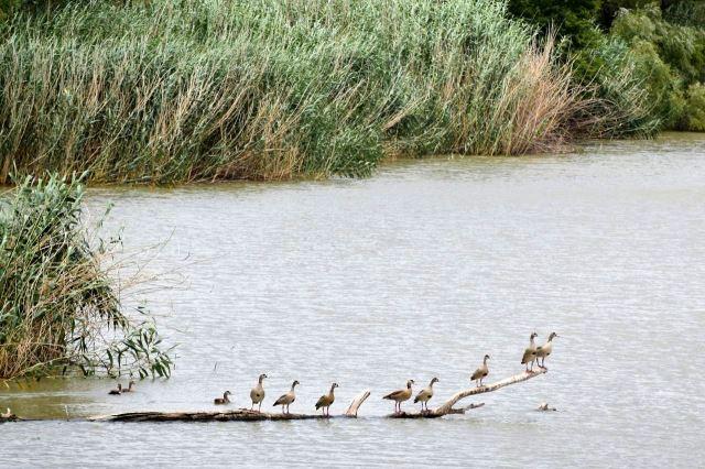 [Řeka Sands] Hřadující ptáci
