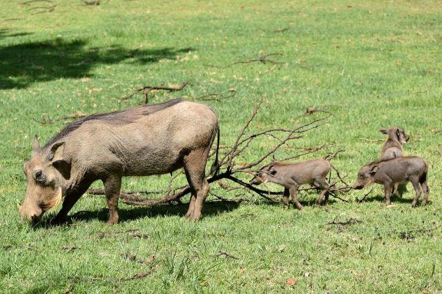 [Pilanesberg] Samice prasete bradavičnatého s mláďaty