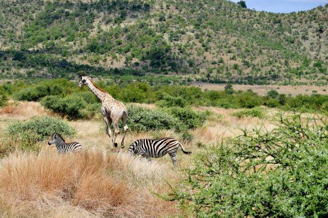[Pilanesberg] Žirafa dělá pořádek mezi zebrami