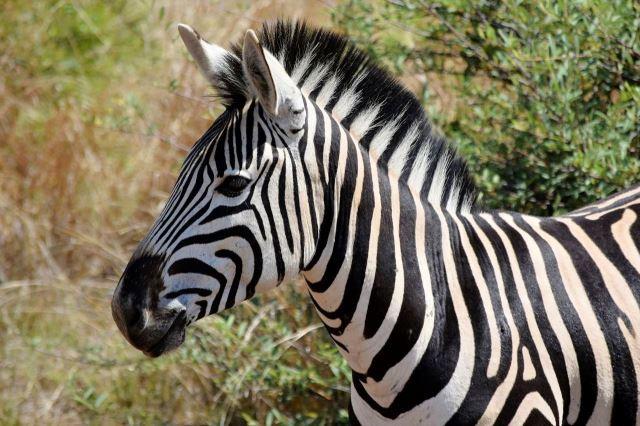 [Pilanesberg] Hlava zebry