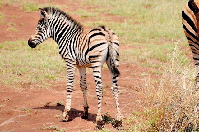 [Pilanesberg] Mládě zebry