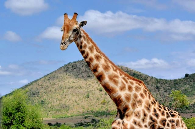 [Pilanesberg] Dlouhý krk žirafy