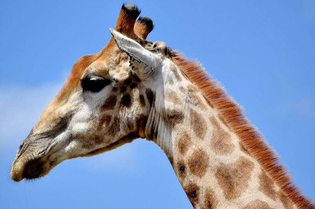 [Pilanesberg] Hlava žirafy