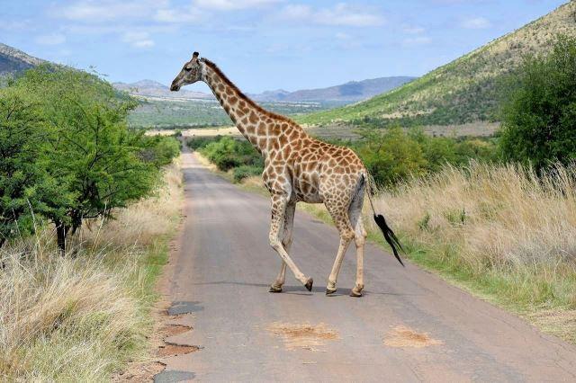 [Pilanesberg] Žirafa přechází silnici