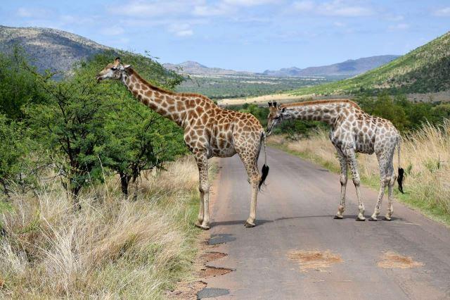 [Pilanesberg] Mámo, tady něco smrdí