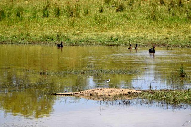 [Pilanesberg] Krokodýl v jezeře
